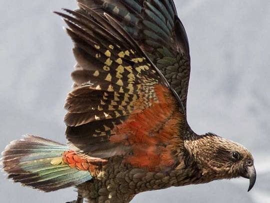 Kea im Flug, ©TNZ/Nature Toursr