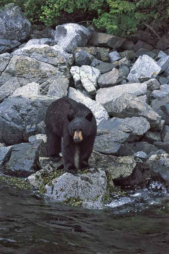Black bear near Campbell River Photo: Tourism BC / Tom RyanWhat a catch, Salmon fishing near Prince Rupert Photo: Tourism BC/JF