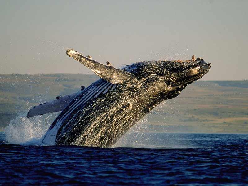 Welches Ist Der Größte Wal